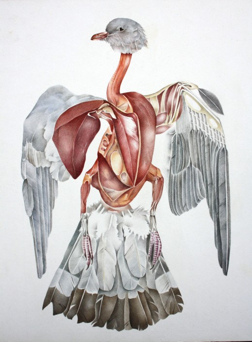 Pigeon, watercolour