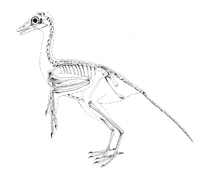 Bird skeleton 1