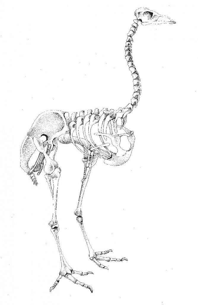 Bird skeleton 2
